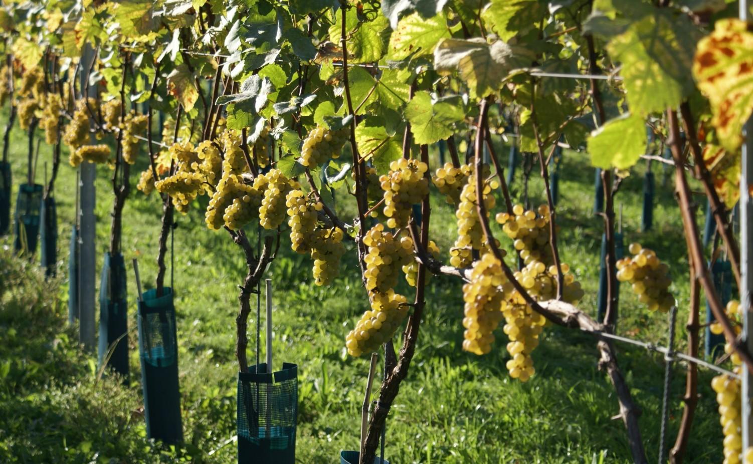 Prachtige trossen Chardonnay...