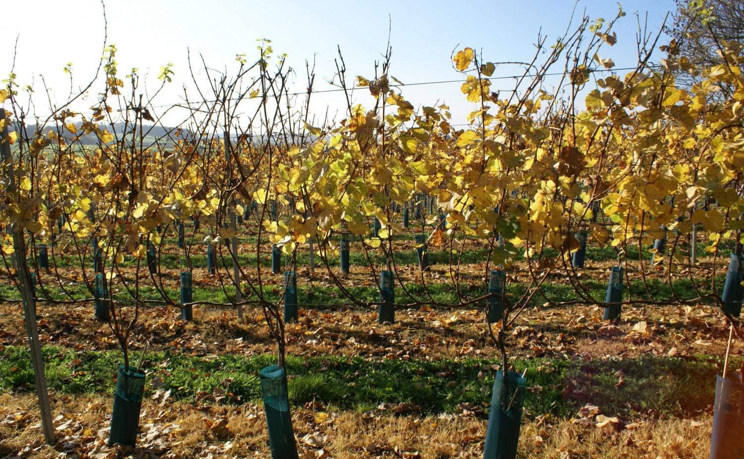 Herfst in Wijngaard Kruisboom...