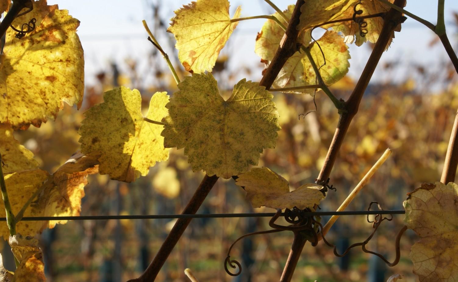 Wijnbladeren in warme herfsttinten...