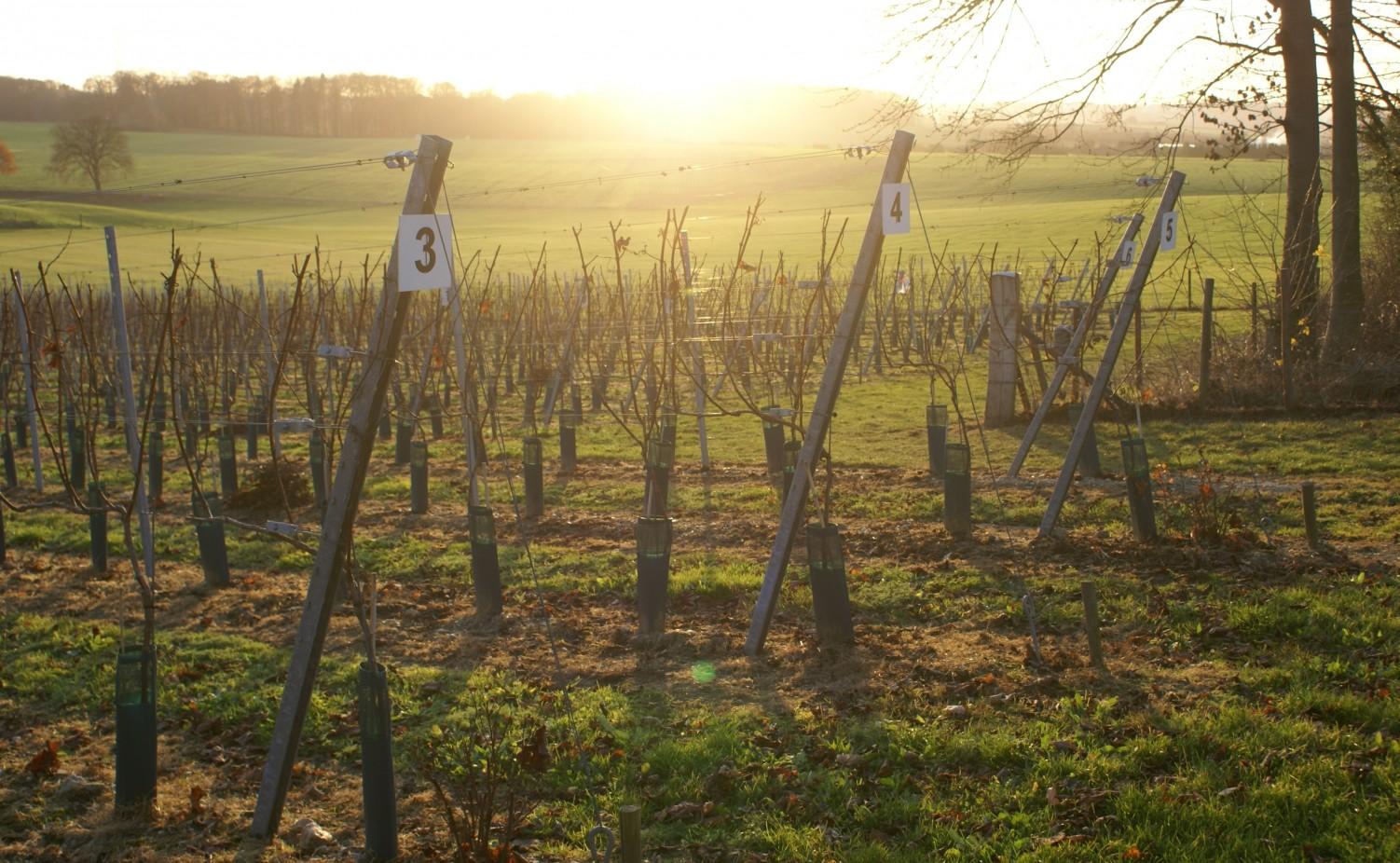 De zon zakt achterin de wijngaard...