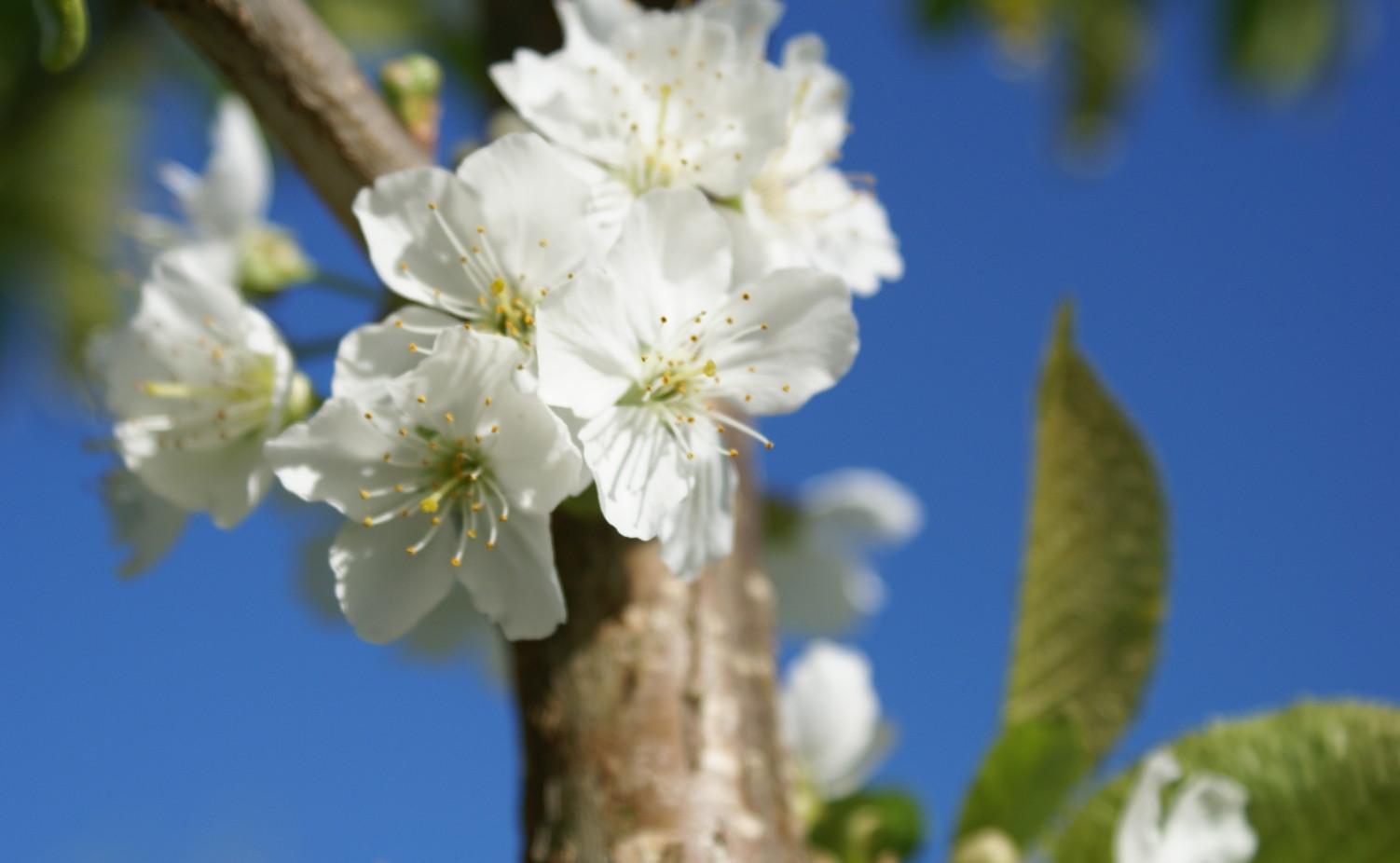 Fruitbomen in de gaard in bloei...