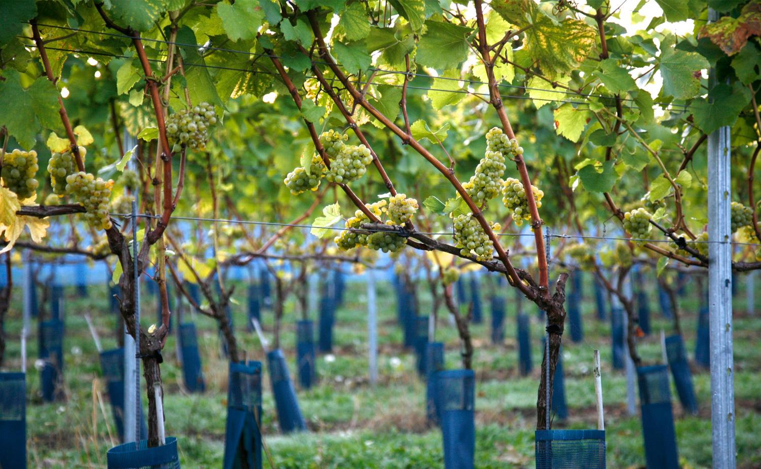Doorkijkje in de wijngaard...