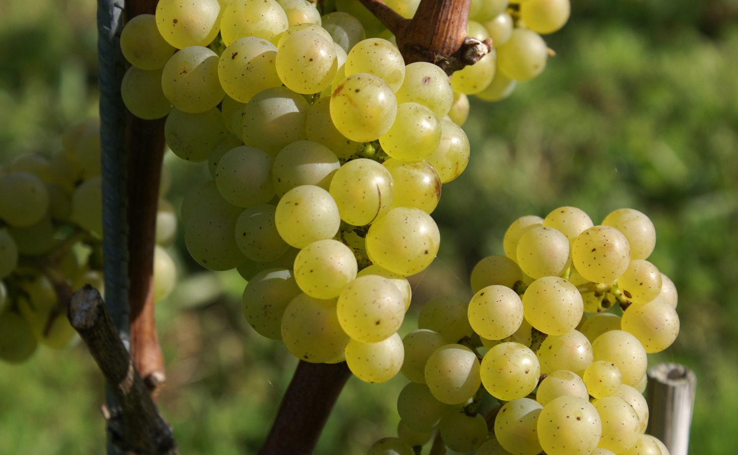 Chardonnay in volle glorie...